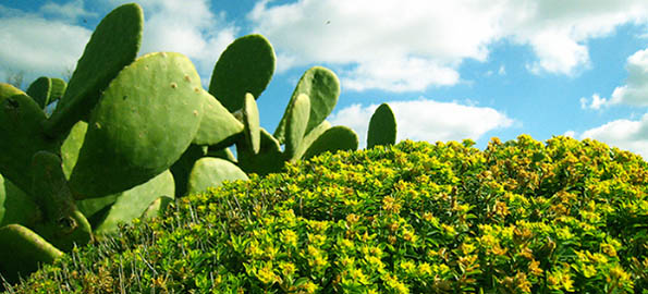 prickly-pear-mound