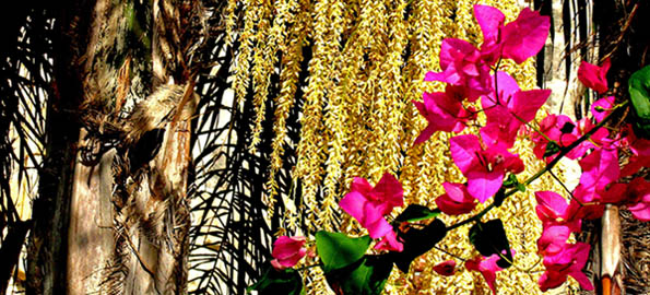 Welcome shade and colour: palm and bougainvillea in a Maltese garden.