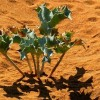 Sea Holly on Malta&#039;s Sand Dunes: by Leslie Vella