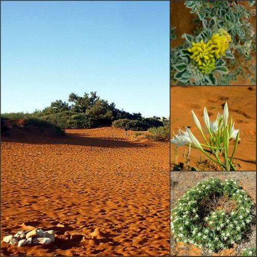 Malta's sand dune beach flora: Leslie Vella
