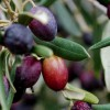 Malta's olive harvest