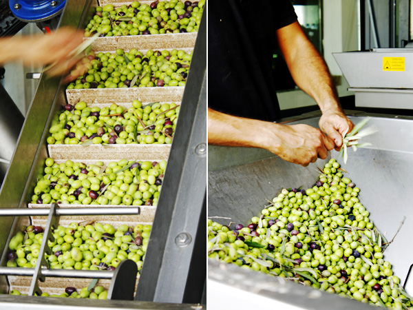Malta's olives at the press