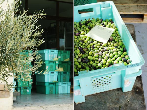 Maltese olives ready to press